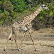 girafe de Thornicroft