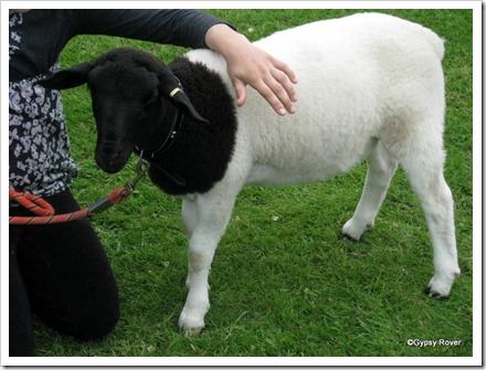 The most unusual lamb in the Lamb judging at Koputaroa School Agricultural day.