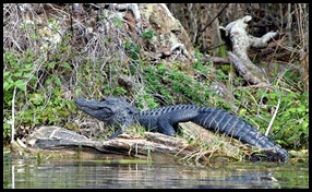 08 - Animals - Alligator 1d