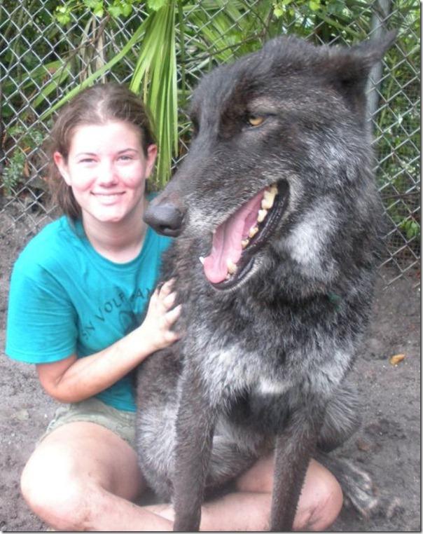 CÃO lobo (3)