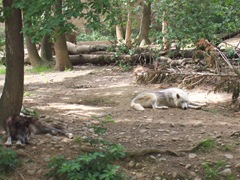 2009.05.22-015 loups