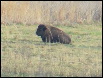 Buffalo, horses & deer 008