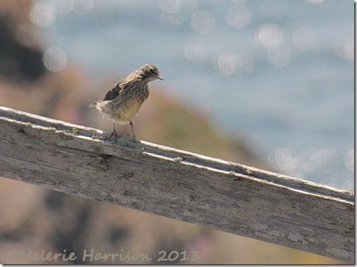 36-meadow-pipit
