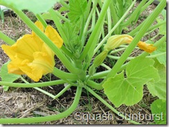 Sunburst squash blossoms