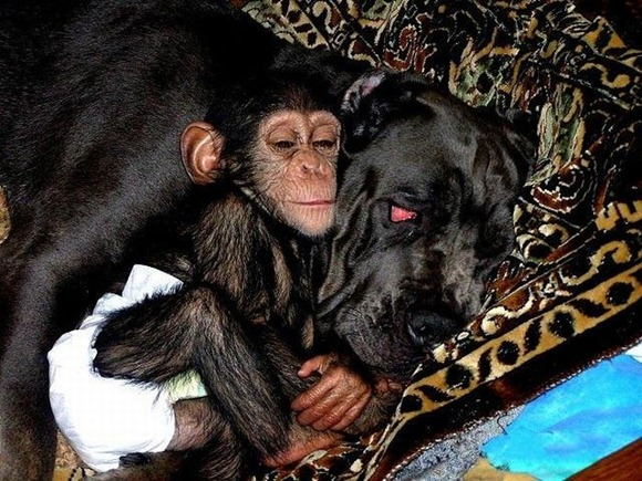 Chimpanzee Adopted By a Mastiff 04