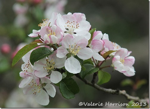 19-crab-apple-blossom