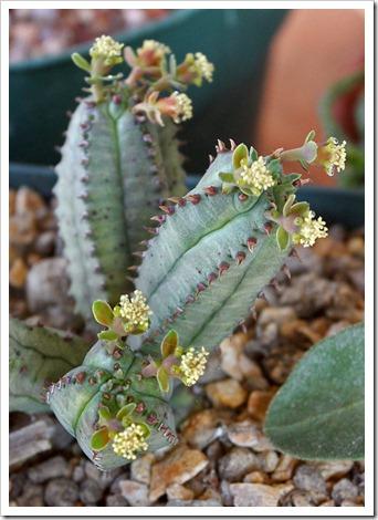 120308_Euphorbia-tubiglans_02