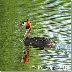Great Crested Grebe1