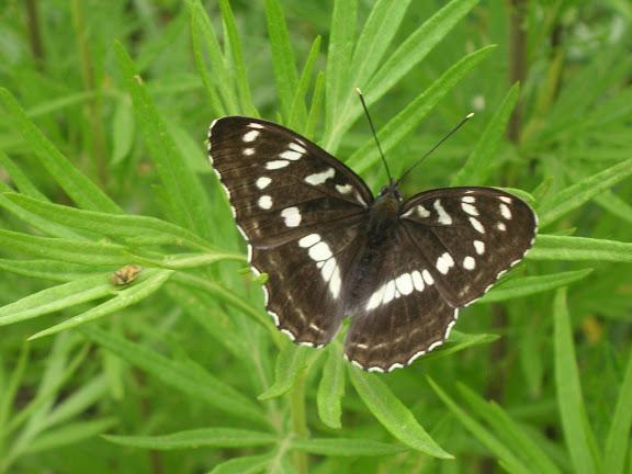 Limenitis amphissa MÉNÉTRIÉS, 1859. Près d'Andreevka (Primorskij Kraj, Russie), 7 juillet 2011. Photo : J. Michel