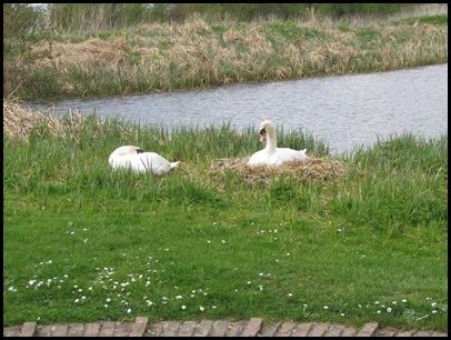 6 Swans nest