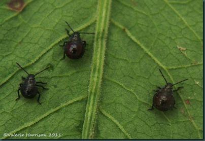 shieldbug Picromerus bidens 3