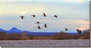 Sand Hill Cranes Wilcox AZ 135