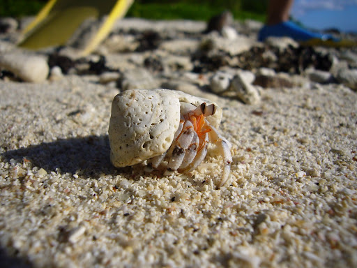 Hermit crabs of all shapes and sizes