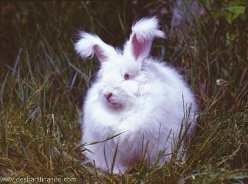 coelho angora peludo desbaratinando (7)