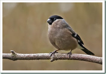Bullfinch f filnore