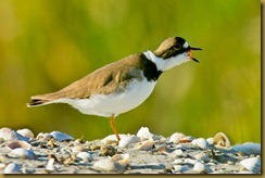 Sachuest 8-11 Semipalmated Plover mouth openD7K_2755 August 11, 2011 NIKON D7000