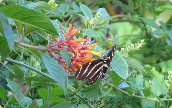 08-29-hamelia-paten-zebra