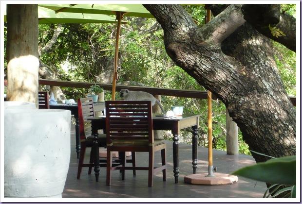 Thornybush-Game-Lodge-Hoedspruit-África-do-Sul-Reserva-Hotel-Mesa-Macaco