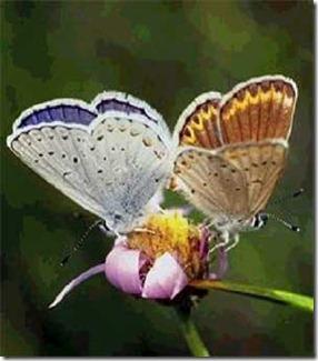 Cópia de borboletas_na_flor