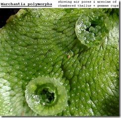 Marchantia polymorpha 3