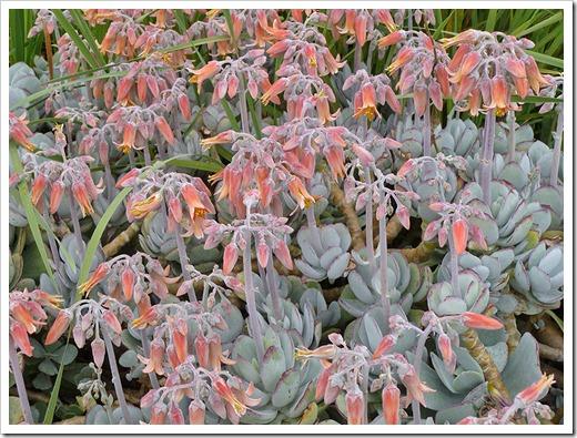 Cotyledon-orbiculata-var