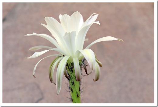 120603_echinopsis-subdenudata_15