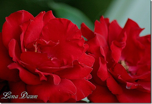 CrimsonBouquet_Roses