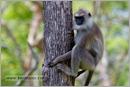 _P6A2091_grey_langur_monkey_mudumalai_bandipur_sanctuary