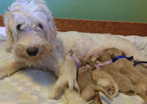 Lovely Mama Escade and her 8 darling puppies.