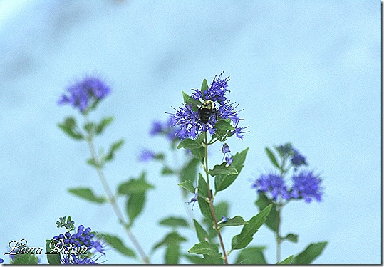 Caryopteris_FirstChoice2