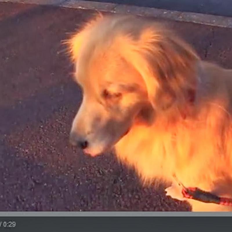 Σκύλος μιμείται τη σειρήνα