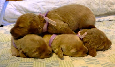Escade four female doodle puppies at one week old. born Oct 19, 2013