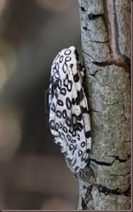 Amazing Pictures of Animals photo Nature exotic funny incredibel Zoo giant leopard moth, insect.Alex (7)
