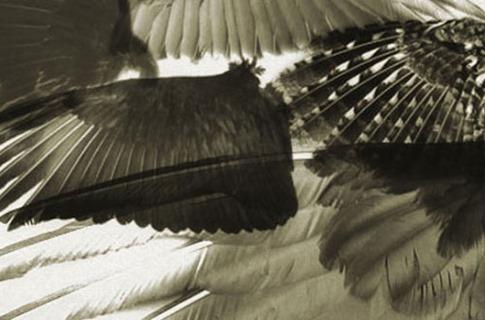 Pinceles de alas negras