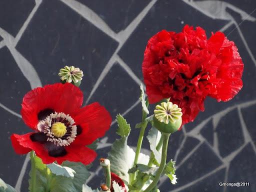 Pavots simple et double à fleur de Pivoine