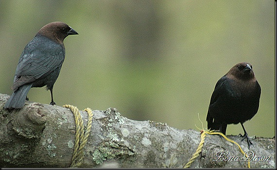 Brown_Headed_Cowbirds2012