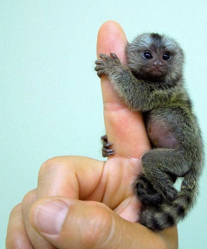 small monkey breeds