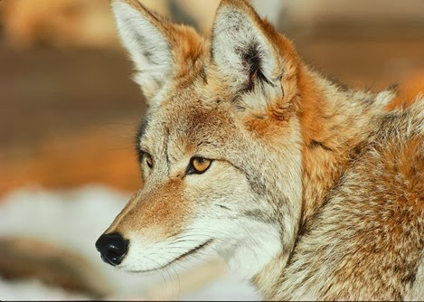 Amazing Pictures of Animals, Photo, Nature, Incredibel, Funny, Zoo, Coyote, Canis latrans, Alex (6)