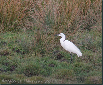 1 Little-Egret