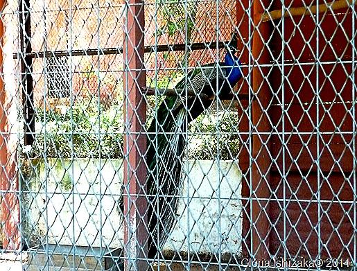 42- Glória Ishizaka - Marília -pavão
