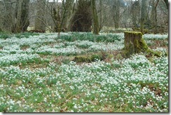 kailzie carpet of snowdrops