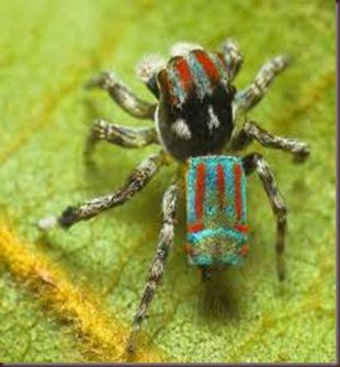 Amazing Pictures of Animals, photo, Nature ,exotic, funny, incredibel, Zoo, Maratus volans,  Peacock spider or Gliding spider, Alex (9)