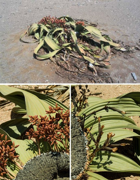 Prehistoric Desert Flower, Welwitschia mirabilis