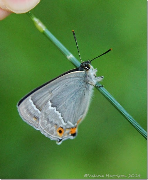 Purple-Hairstreak-3