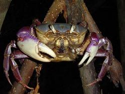 caranguejo amapá