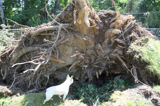 And look at this toppled linden tree!  Franny, what are you doing down in that pit?