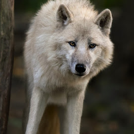 Arctic Wolf by Renos Hadjikyriacou - Animals Other Mammals ( mammals, animals, wolf,  )
