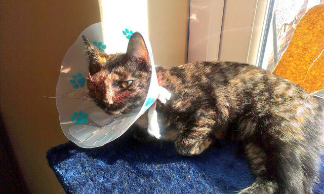 tortie with lampshade collar