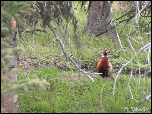 Chinese-Pheasant