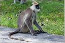 _P6A2112_grey_langur_monkey_mudumalai_bandipur_sanctuary